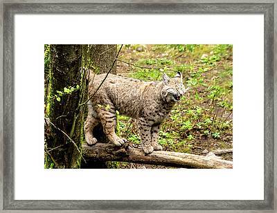 Wild Bobcat In Mountain Setting Framed Print by Teri Virbickis