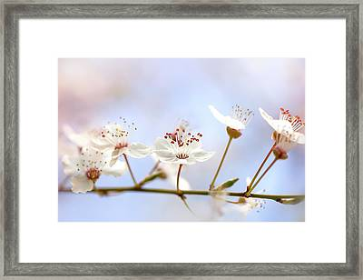 Wild Cherry Blossom Framed Print by Jacky Parker
