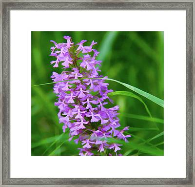 Wild Orchids Framed Print by Susan Crossman Buscho