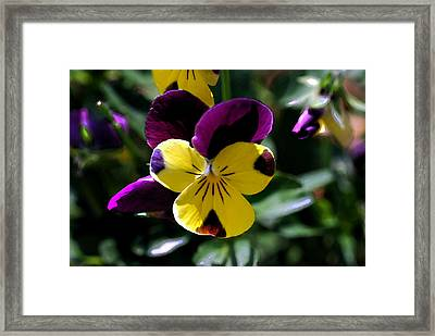 Wild Pansy Framed Print by Don  Wright