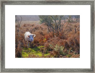 Wild Pig In The New Forest - England Framed Print by Joana Kruse
