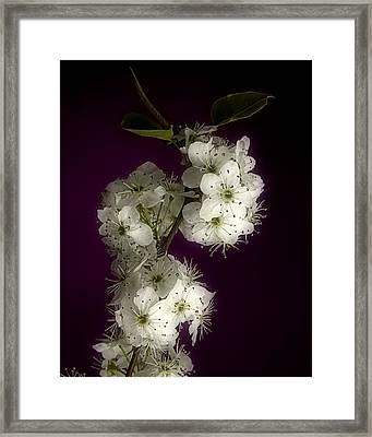 Wild Plum Blooms Framed Print by M K  Miller