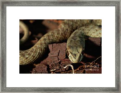 Wild Snake Malpolon Monspessulanus In A Tree Trunk Framed Print by Angelo DeVal