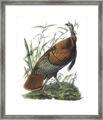 Wild Turkey Framed Print by John James Audubon