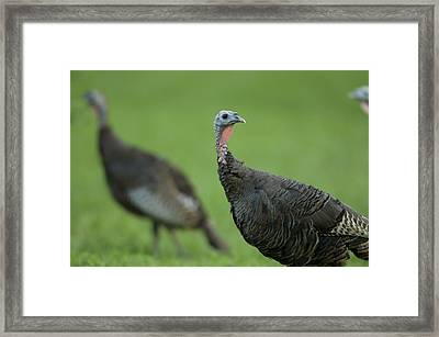 Wild Turkey Meleagris Gallopavo Framed Print by Joel Sartore