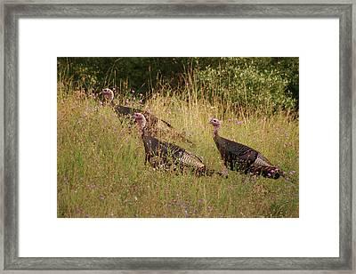 Wild Turkeys Framed Print by Michael Peychich