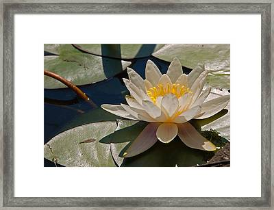Wild Water Lilies Framed Print by Louis Dallara