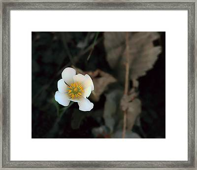 Wildflower - Bloodroot - 2 Framed Print by Nikolyn McDonald