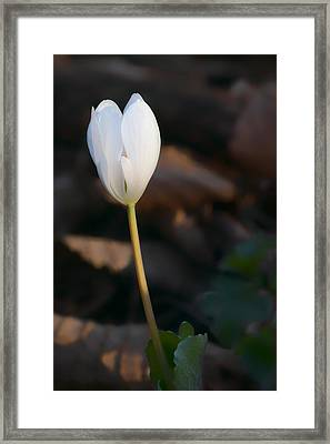 Wildflower - Bloodroot Framed Print by Nikolyn McDonald