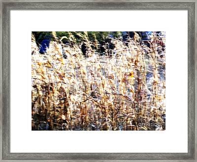 Windy Cornfield Framed Print by Marsha Heiken