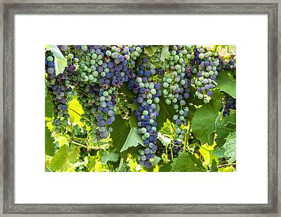 Wine Grape Colors Framed Print by Teri Virbickis