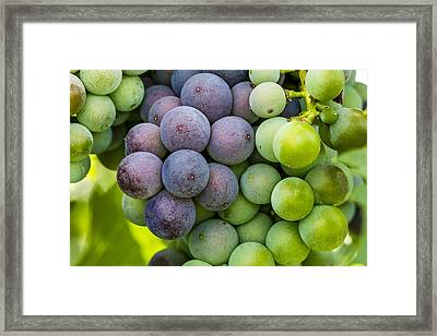 Wine Grapes Close Up Framed Print by Teri Virbickis