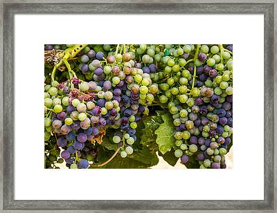 Wine Grapes On The Vine Framed Print by Teri Virbickis