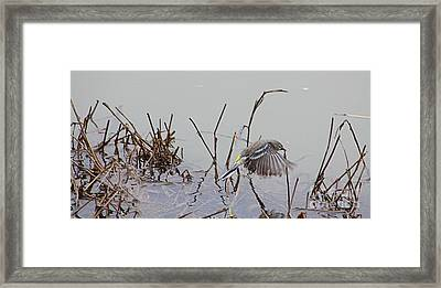 Wings Over Water Framed Print by Nick Gustafson