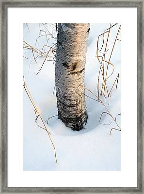 Winter Birch Framed Print by Bill Morgenstern