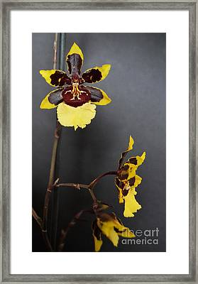 Winter Bloom Orchids 3 Framed Print by Chalet Roome-Rigdon