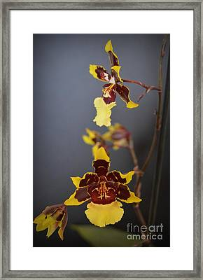 Winter Bloom Orchids 4 Framed Print by Chalet Roome-Rigdon