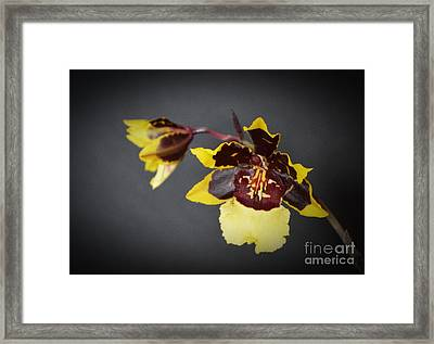 Winter Bloom Orchids Framed Print by Chalet Roome-Rigdon