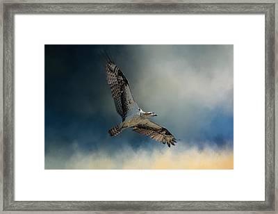 Winter Osprey Framed Print by Jai Johnson