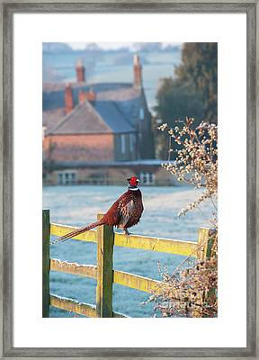 Winter Pheasant Framed Print by Tim Gainey