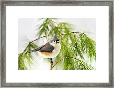 Winter Pine Bird Framed Print by Christina Rollo