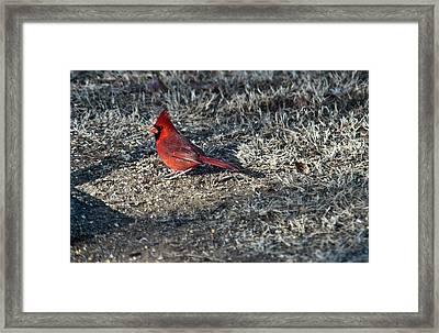 Winter Redbird Framed Print by Douglas Barnett