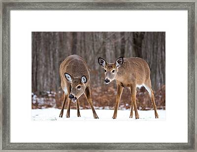 Winter White Tail Deer Framed Print by Karol Livote