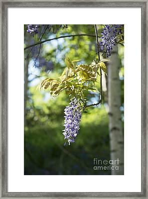 Wisteria Floribunda In Sunlight Framed Print by Tim Gainey