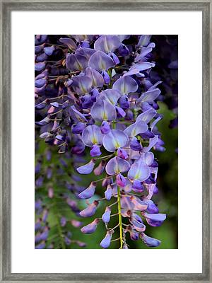 Wisteria In Bloom Framed Print by Jessica Jenney