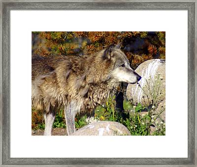 Wolf On Patorl Framed Print by Marty Koch