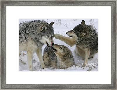 Wolf Social Behavior Framed Print by Jean-Louis Klein & Marie-Luce Hubert