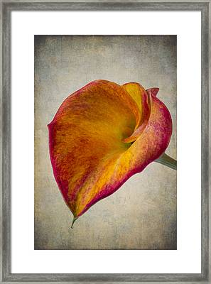 Wonderful Calla Lily Softly Framed Print by Garry Gay
