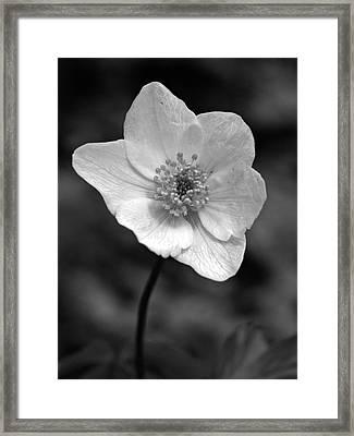 Wood Anemone 6 Framed Print by Jouko Lehto