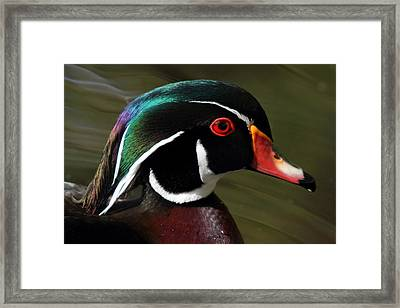 Wood Duck At Beaver Lake Stanley Park Vancouver Canada Framed Print by Pierre Leclerc Photography