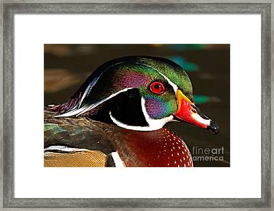 Wood Duck Courtship Colors Framed Print by Max Allen