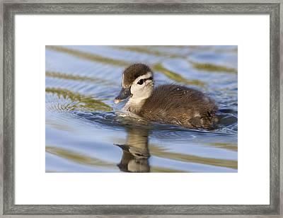 Wood Duck Duckling Swimming Santa Cruz Framed Print by Sebastian Kennerknecht