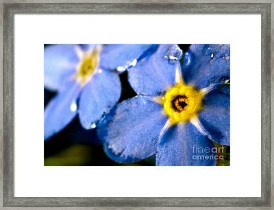 Wood Forget Me Not Blue Two Framed Print by Ryan Kelly
