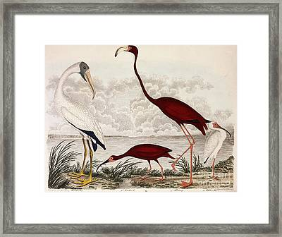 Wood Ibis, Scarlet Flamingo, White Ibis Framed Print by Alexander Wilson