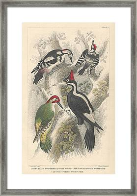 Woodpeckers Framed Print by Oliver Goldsmith
