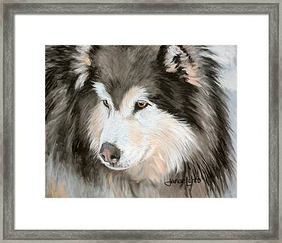 Woolly Malamute Framed Print by Janae Lehto