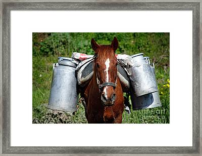 Work Horse At The Azores Framed Print by Gaspar Avila