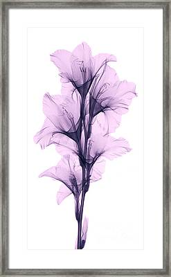 X-ray Of A Gladiola Flower Framed Print by Ted Kinsman