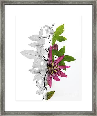 X-ray Of A Passion Flower Framed Print by Ted Kinsman