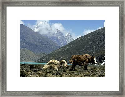 Yak Framed Print by Martyn Colbeck