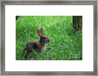 Yard Bunny Framed Print by Randy Bodkins