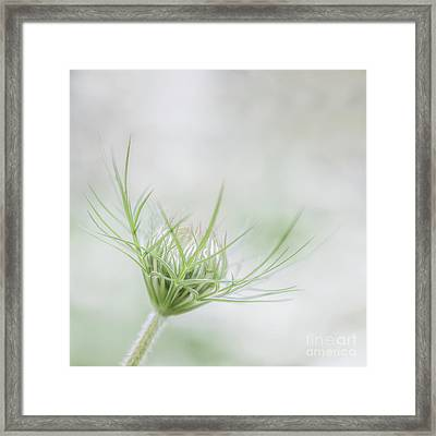 Queen Annes Lace Or Wild Carrot Framed Print by Janet Burdon