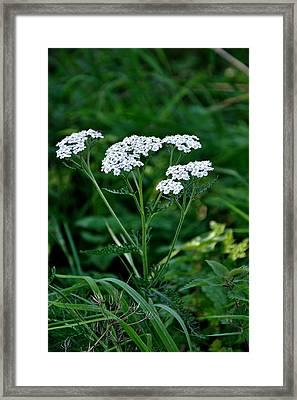 Yarrow Flowerheads Framed Print by Rod Johnson