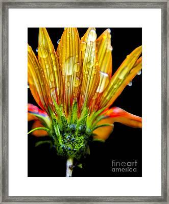 Yellow And Orange Wet Zinnias. Framed Print by Elizabeth Greene