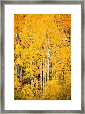 Yellow Aspens Framed Print by Ron Dahlquist - Printscapes