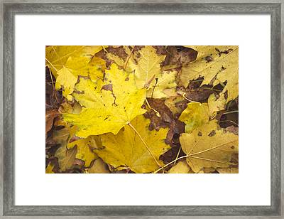 Yellow Autumn Leaves Framed Print by Thubakabra